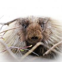 slider_porcupine