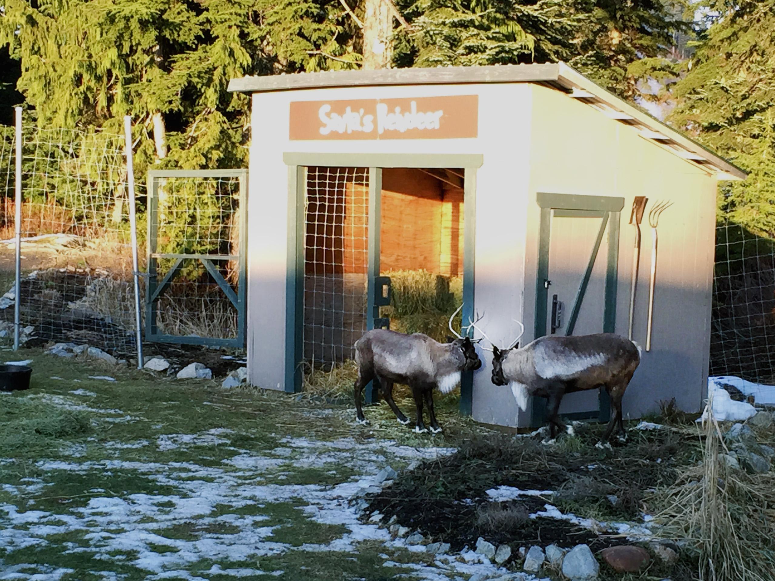 Shady reindeer